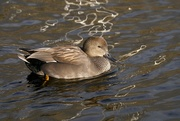 9th Jan 2021 - GADWALL DRAKE