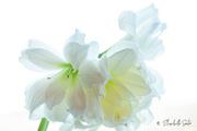 9th Jan 2021 - White Amaryllis