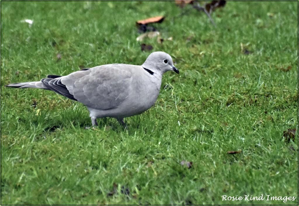Little dove by rosiekind