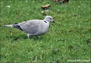 9th Jan 2021 - Little dove