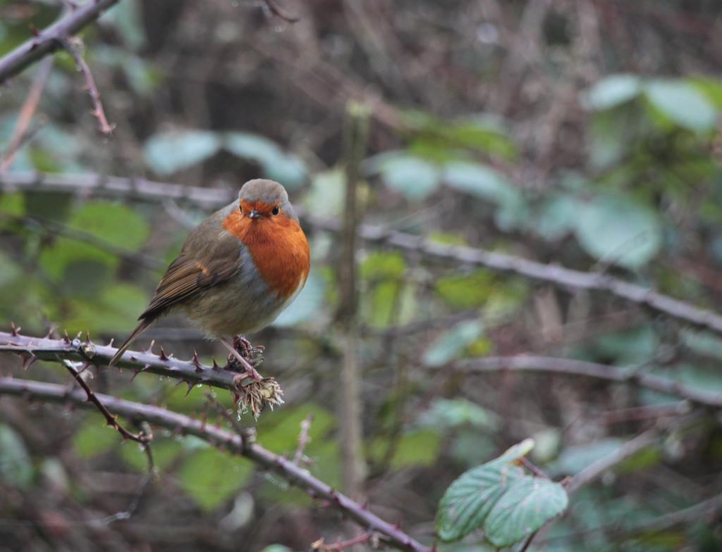 Foggy day robin by busylady