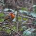 Foggy day robin