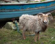 9th Jan 2021 - Guard Sheep