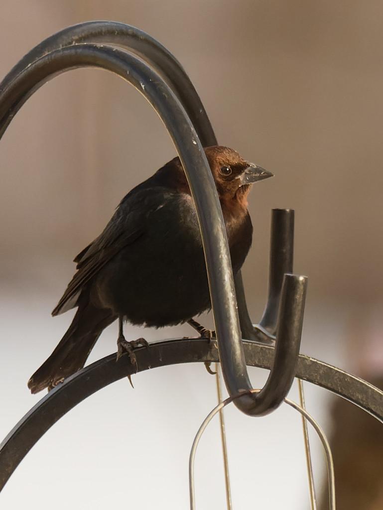 brown-headed cowbird by rminer