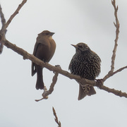 9th Jan 2021 - Female brown-headed cowbird and European startling
