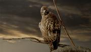 8th Jan 2021 - Redtailed Hawk
