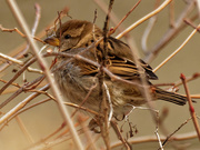 9th Jan 2021 - house sparrow