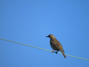 9th Jan 2021 - Bird On A Wire