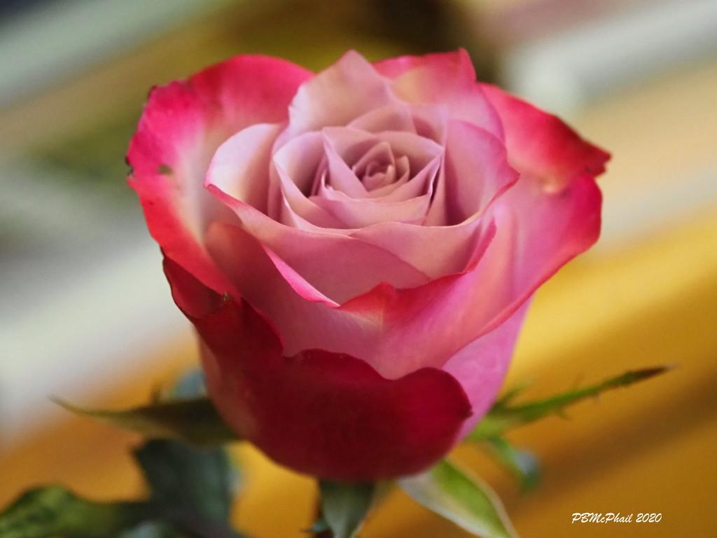 My Christmas Rose by selkie