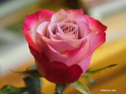 26th Dec 2020 - My Christmas Rose