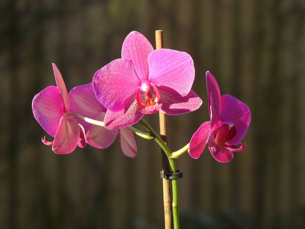 Pink Orchid  by susiemc