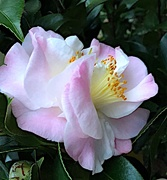 9th Jan 2021 - Camellias never cease to astonish me with their beauty!