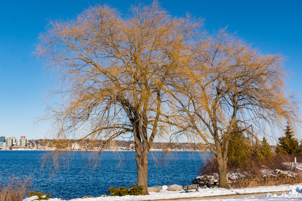 Willows on the Waterfront by mgmurray