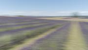 9th Jan 2021 - Lavender Field ICM