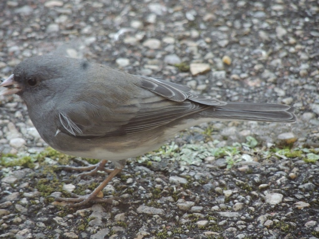 Junco Close Up by allie912
