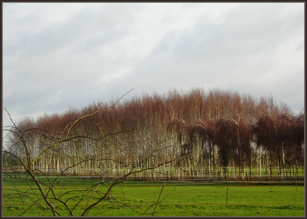 more birches by gijsje