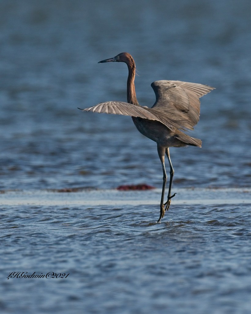 LHG-2082- Reddish Egret tipptoes by rontu