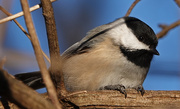 9th Jan 2021 - Black-capped Chickadee