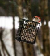 9th Jan 2021 - Red-Bellied Woodpecker