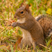 Backyard Squirrel Having a Snack!