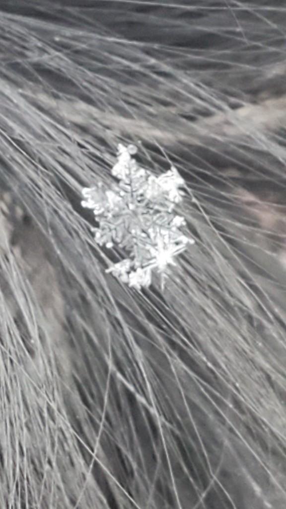 Snowflake on Pearl's Ear by wyomingsis