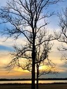 10th Jan 2021 - Winter tree and sunset along the Ashley River