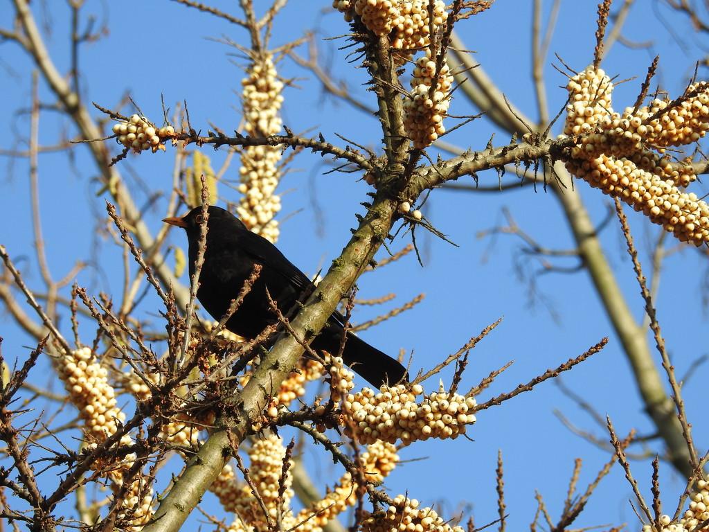 Blackbird by oldjosh