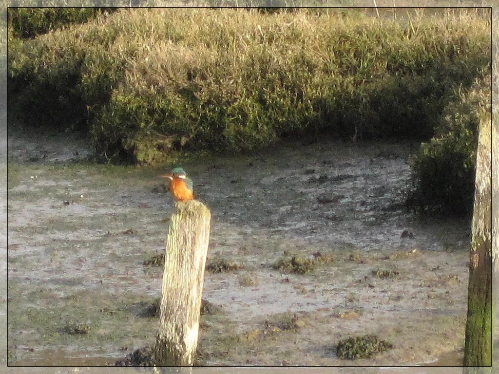 an impression of a kingfisher by quietpurplehaze