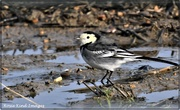 10th Jan 2021 - Pied wagtail