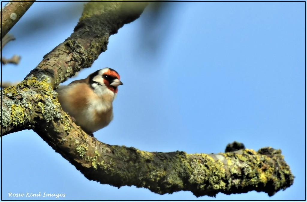 Peeping goldfinch by rosiekind