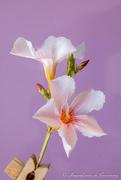 9th Jan 2021 - Oleander flowers
