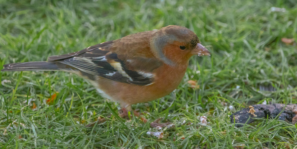 Chaffinch by lifeat60degrees