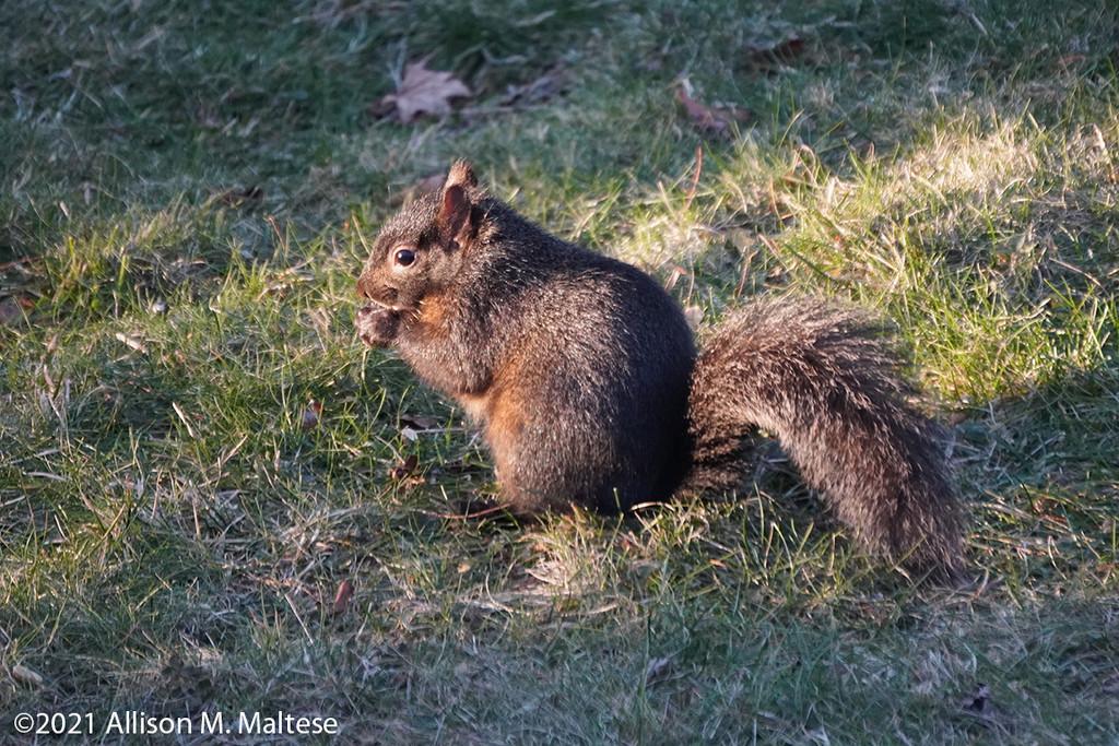 Black Squirrel by falcon11