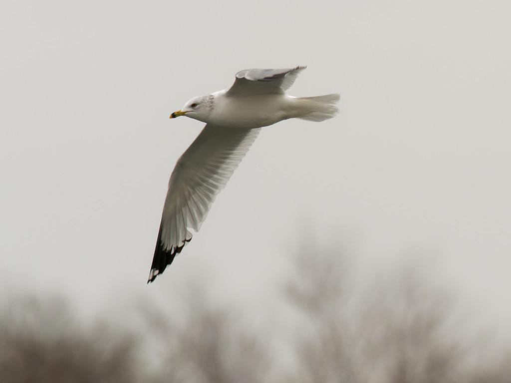 ring-billed gull  by rminer