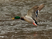 10th Jan 2021 - mallard drake in flight