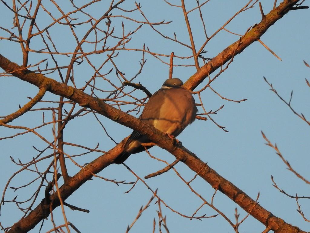 Wood Pigeon by oldjosh