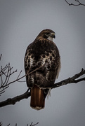 10th Jan 2021 - Juvenile Red-Tailed Hawk