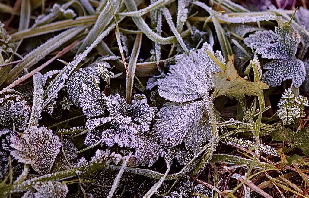 Frosty Leaves by carole_sandford