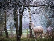 10th Jan 2021 - haughty llama