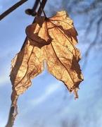 10th Jan 2021 - A Maple Leaf