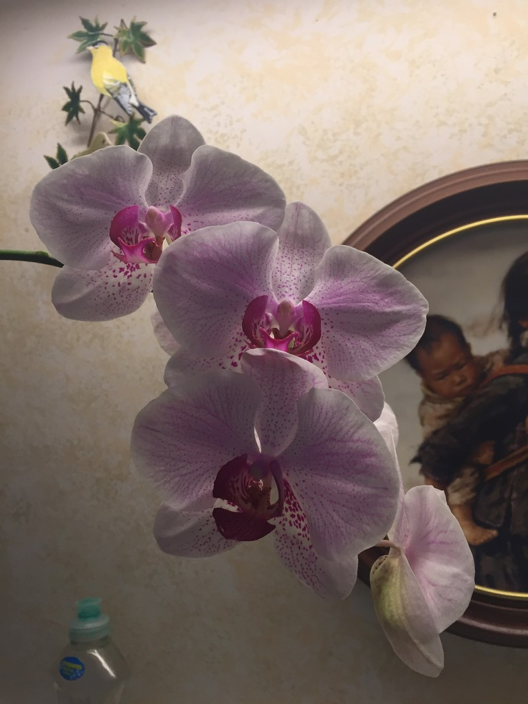 Dad's orchid has bloomed  by kchuk