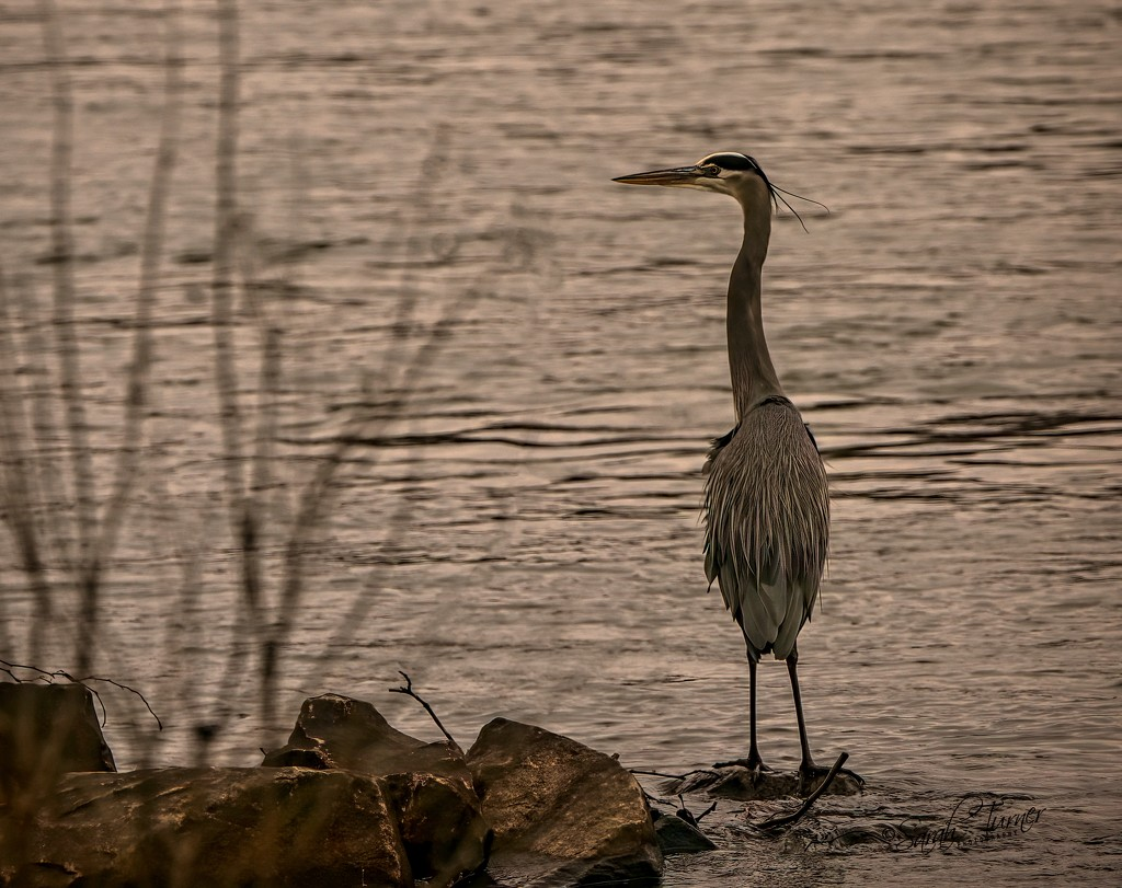 It's a gray day for Mr Heron  by samae