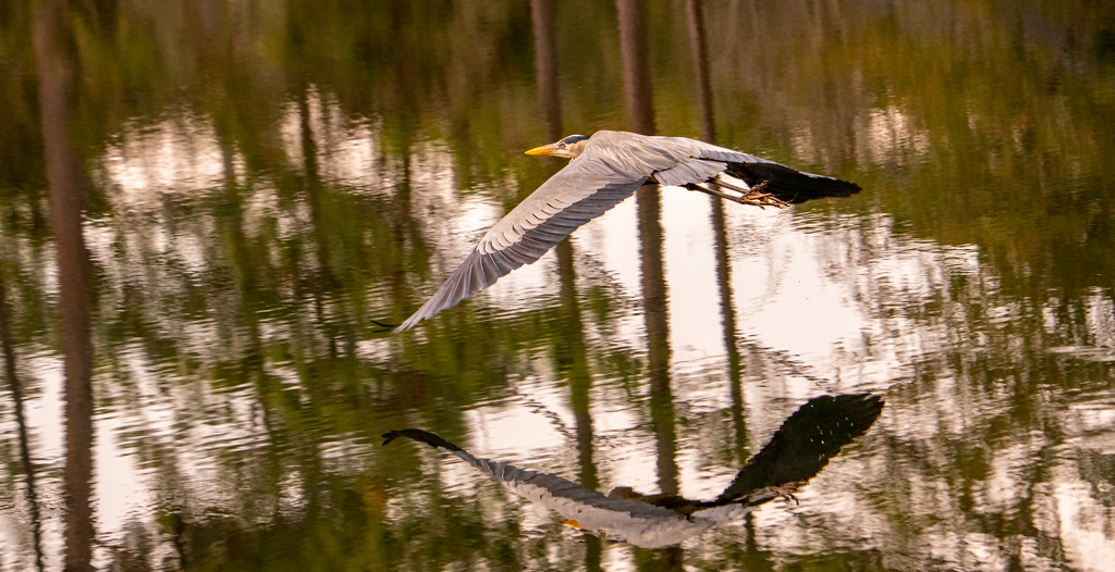 Blue Heron and Reflections! by rickster549