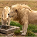 A white Lion couple