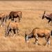 Eland grazing at Villeira