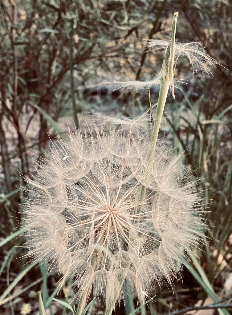 Large dandelion  by nicolecampbell