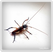11th Jan 2021 - Weta Hemideina