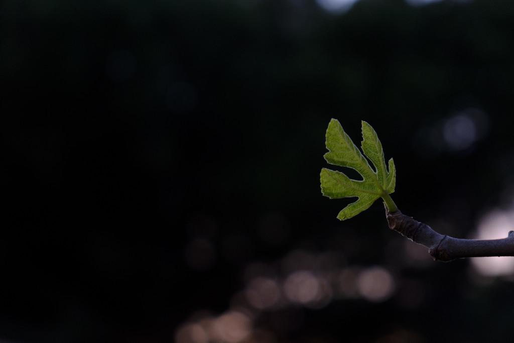 Fig Leaf by mrslaloggie