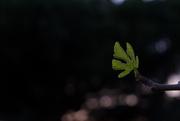 10th Jan 2021 - Fig Leaf