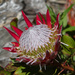 King Pink Protea